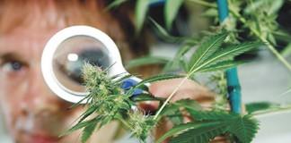 Marihuana-jednogodišnja biljka, višegodišnji problem